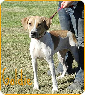 English (Redtick) Coonhound Mix Dog for adoption in Lawrenceburg, Tennessee - Goldie