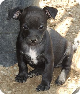 Chihuahua/Manchester Terrier Mix Puppy for adoption in La Habra Heights, California - Eve