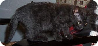 Domestic Shorthair Kitten for adoption in Saanichton, British Columbia - Chanel