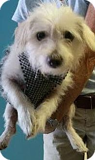 Maltese Mix Dog for adoption in Philadelphia, Pennsylvania - Skippy
