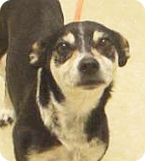 Chihuahua Mix Dog for adoption in Spokane, Washington - Fin Flicker