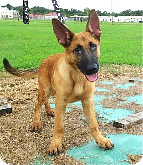 German Shepherd Dog Mix Puppy for adoption in St. Francisville, Louisiana - Baron
