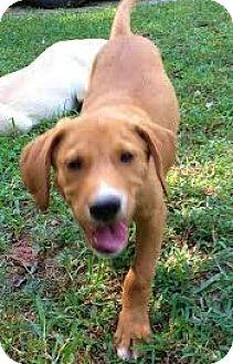 Labrador Retriever/Golden Retriever Mix Puppy for adoption in Snohomish, Washington - Scotch, social & sweet!