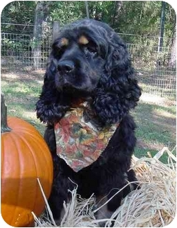 Cocker Spaniel Dog for adoption in Sugarland, Texas - Lily