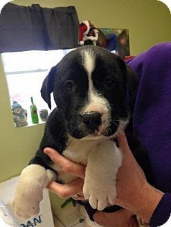 Border Collie Mix Puppy for adoption in Newburgh, Indiana - Jingle