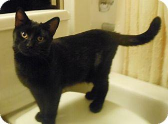 Domestic Shorthair Cat for adoption in Reston, Virginia - Jules - FeLV positive