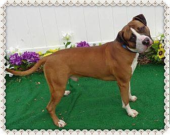 Boxer/American Bulldog Mix Dog for adoption in Marietta, Georgia - GOTTI