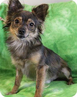 Chihuahua/Papillon Mix Dog for adoption in Hagerstown, Maryland - Bowie