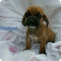 Adopt A Pet :: Gadget - Marlton, NJ