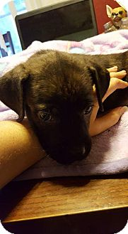Boxer/Pit Bull Terrier Mix Puppy for adoption in Mesa, Arizona - Veronica
