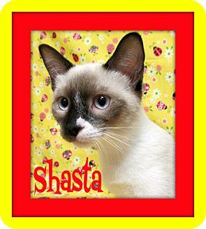 Snowshoe Kitten for adoption in Tracy, California - Shasta