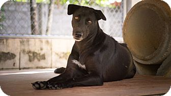 Thai Ridgeback/Hound (Unknown Type) Mix Dog for adoption in Toronto, Ontario - Kirby
