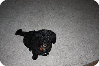 Terrier (Unknown Type, Medium) Mix Dog for adoption in DeLand, Florida - Smokey