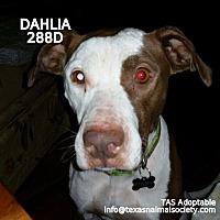 Staffordshire Bull Terrier Dog for adoption in Spring, Texas - Dahlia