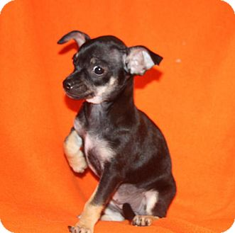 Chihuahua Mix Puppy for adoption in Wayne, New Jersey - Opal