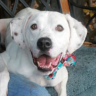Dalmatian Mix Dog for adoption in Garfield Heights, Ohio - Reese
