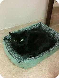 Domestic Longhair Cat for adoption in Cumming, Georgia - Louie