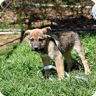 German Shepherd Dog/Shar Pei Mix Puppy for adoption in Groton, Massachusetts - Fawn