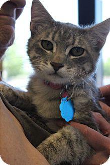 Domestic Shorthair Kitten for adoption in Wichita Falls, Texas - Freddie