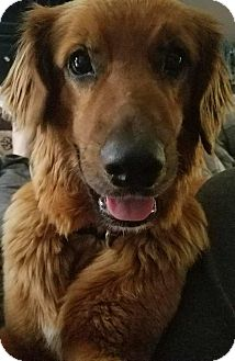 Golden Retriever/Mixed Breed (Large) Mix Dog for adoption in Aurora, Ohio - Sadie