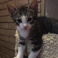 Adopt A Pet :: Cobbler - Phoenix, AZ