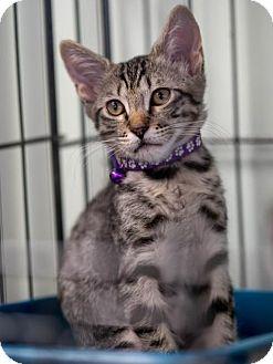 Domestic Shorthair Kitten for adoption in Orlando, Florida - Ziggy