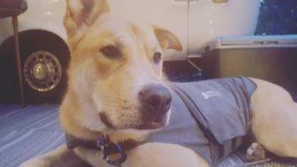 Husky/Labrador Retriever Mix Dog for adoption in Blackstock, Ontario - Lou