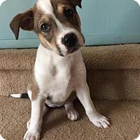Adopt A Pet :: Sadie Mae - Houston, TX