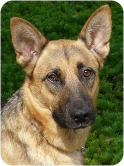 German Shepherd Dog Dog for adoption in Los Angeles, California - Skyler von Rowley