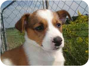 Corgi Mix Puppy for adoption in Lonedell, Missouri - Venice 1