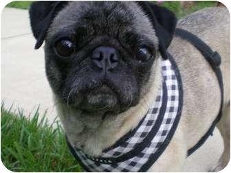 Pug Dog for adoption in Front Royal, Virginia - Samantha