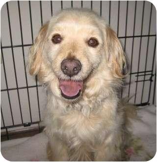 Cocker Spaniel/Pomeranian Mix Dog for adoption in Bellflower, California - Elmer