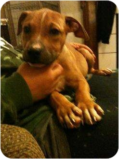 American Staffordshire Terrier Mix Puppy for adoption in mishawaka, Indiana - Lucy PAWMART