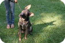 German Shepherd Dog/Catahoula Leopard Dog Mix Dog for adoption in Hammond, Louisiana - Zeus