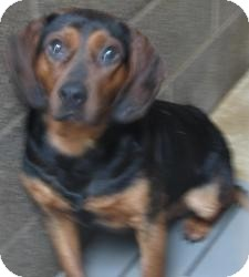 Beagle/Hound (Unknown Type) Mix Dog for adoption in Chicago, Illinois - Dan