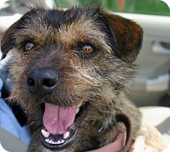 Cairn Terrier Mix Dog for adoption in Avon, New York - Elmo