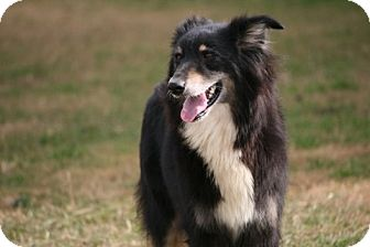 Australian Shepherd Dog for adoption in Brattleboro, Vermont - Betty