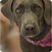 Adopt A Pet :: Star - Arlington, TX