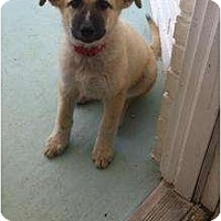 Adopt A Pet :: Cinnamon - Arlington, TX