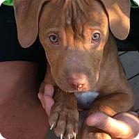Adopt A Pet :: Hooch - Marlton, NJ