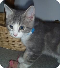 Domestic Shorthair Kitten for adoption in Hamburg, New York - Dusty