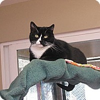 Domestic Shorthair Cat for adoption in Spring Valley, California - Nellie
