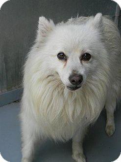 Spitz (Unknown Type, Medium) Dog for adoption in Tyner, North Carolina - Max (courtesy post)