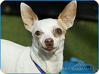 Chihuahua Dog for adoption in Vista, California - Devin