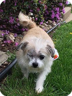 Shih Tzu/Terrier (Unknown Type, Small) Mix Dog for adoption in Orland Park, Illinois - Tommy