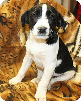 Terrier (Unknown Type, Medium)/Wirehaired Fox Terrier Mix Puppy for adoption in Ripley, West Virginia - Sonic