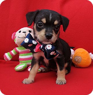 Jack Russell Terrier/Terrier (Unknown Type, Small) Mix Puppy for adoption in Irvine, California - Bouncer