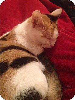Calico Kitten for adoption in Simpsonville, South Carolina - Beru