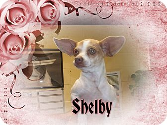 Chihuahua Mix Dog for adoption in muskogee, Oklahoma - shelby