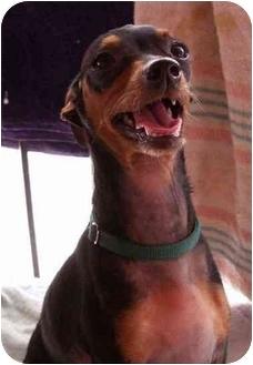 Miniature Pinscher Dog for adoption in Phoenix, Arizona - GQ Freezy